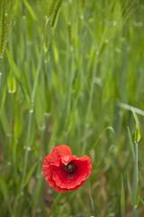 Portrait officiel (Gerard Hermand) Tags: 1705048047 gerardhermand france malaucène vaucluse canon eos5dmarkii formatportrait coquelicot poppy rouge red vert green fleur flower blé corn pdc dof