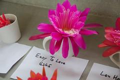 _DSC0057.ppm (nitedojo) Tags: nitedojo kakteenhaage openday epiphyllum