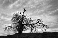 A Quaint Tree (StefanB) Tags: 1235mm 2017 arastraderopreserve bw california em5 geotag hiking monochrome outdoor tree treescape