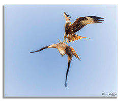 Battle in the skys. (peterwilson71) Tags: birds flight battle free skys prey beautiful