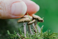 How to measure the size of mushrooms? (Inka56) Tags: mushrooms fungi moss forest macro nail fingers closeup