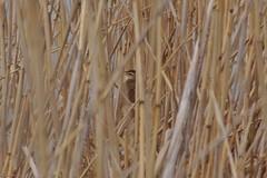 Borta i vassen (tusenord) Tags: fåglar fotosondag sävsångare vass åbygård bakgrund acrocephalus schoenobaenus acrocephalusschoenobaenus sedgewarbler bird reed fs170515
