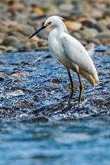 Cattle Egret (fotofrysk) Tags: cattleegret garcillabueyera bubulcisibis bird aves water rocks stream flowing river penasblancasriver riversafarifloat centralamericatrip costarica lafortuna afsnikkor200500mm56eed nikond7100 201702061222