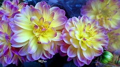 Lindas dálias... MCris (MCrissssss) Tags: macro dália flor flower flora planta nature natureza