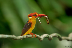 Black Back Kingfisher with FIM (Ken Goh thanks for 2 Million views) Tags: black backed kingfisher kf fim foodinmouth spider prey lizard meal clean background dark wild avian cute pose perch stick smallbird colorfulbird pentax k3 sigma 500 f45 ngc