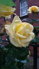 20170517_084018 (Carol B London) Tags: sgc flowers floral flower yellowrose yellowflower stepney stepneygreencourt stepneygreen e1 londone1 flowering bushes residentgarden gardens ids