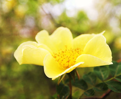 Yellow flower (ekaterina alexander) Tags: yellow flower rose roses spring rosa canina dog flowers ekaterina england alexander sussex nature photography pictures