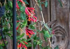 May 14, 2017 - A Hummingbird visits a Thornton yard. (Tony's Takes)