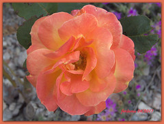 Almería 19 rosa.CR2 (ferlomu) Tags: almeria andalucia ferlomu flor flower rosa