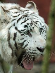 white tiger Amersfoort JN6A2262 (joankok) Tags: tiger tijger wittetijger whitetiger bengaalsetijger bengaltiger amersfoort kat cat asia azie mammal zoogdier dier animal