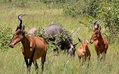 Grazing Topi in Etosha National Park. (One more shot Rog) Tags: beest hartewbeests hartebeest antelope namibia africa africansafari namibiansafari horns antlers safari rogersargentwildlifephotography onemoreshotrog nature wildlife etosha etoshanationalpark fauna kaokoland topi