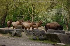 Amerikaanse bizon - Bison bison - American bison + Rocky Mountain-Wapiti - Cervus canadensis Nelsoni - Rocky Mountain elk (MrTDiddy) Tags: amerikaanse bizon bison american rocky mountainwapiti cervus canadensis nelsoni mountain elk dierenparkplanckendael dierenpark planckendael