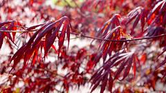 red (Darek Drapala) Tags: red leaves nature panasonic poland polska panasonicg5 trees lumix light
