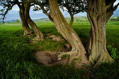 1920p 72dpi-8967 (reach.richardgibbens) Tags: hawthorn lunevalley ingleborough lancashire caton aughton lune riverlune olympusom21mm