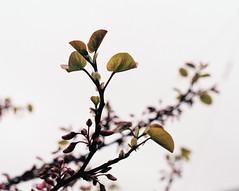 Shining Family (Thomas Listl) Tags: thomaslistl color nature flower leaf blossom white shining bright bokeh fuji superia200 analog film minolta x700