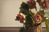 Pink-ish (Filip Federowicz (filu)) Tags: zeiss135 flowers sony a900 zeiss sal135f18z sonnar13518za cz135 cz135mm poland filipfederowicz ツァイス ゾナー ソニ rose pink