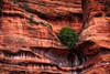 Living on the Edge (John C. House) Tags: everydaymiracles nik nikon d700 honanki closeup sedona johnchouse tree arizona redrocks intimatelandscape southwest desert