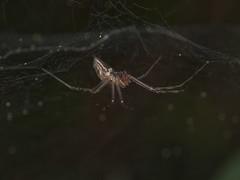 Dubiaranea cf. difficilis (rainerbreitling) Tags: araneae spider argentina villacañadadelsauce córdoba spinne spin araignée araña örümcek αράχνη クモ linyphiidae dubiaranea dubiaraneadifficilis