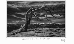 Jeffrey Pine Sentinel Dome_0141 (vonhoheneck) Tags: yosemite national park schoelkopf schölkopf canon 1987 jeffrey california usa tree blackwhite slide dia oldimage adams