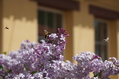 Heavy Air Traffic (Guillermo S.L.) Tags: flores lilas syringa lilac spring insect bee