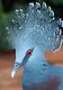 victoria kroonduif artis JN6A6350 (joankok) Tags: artis victoriakroonduif duif victoriancrowneddove dove pidgeon vogel bird