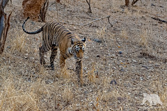 Tiger Patrol (fascinationwildlife) Tags: animal mammal wild wildlife nature natur national park india indien forest bengal tiger patrol asia big cat predator endangered species feline elusive raubkatze ranthambhore