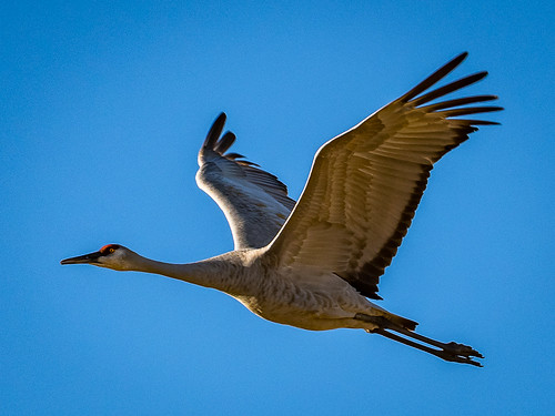 Sandhill Crane in Late Afternoon by   Karl Knapp - HM Class B print - March 2017