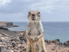 barbary ground squirrel (mejud) Tags: fuerteventura wildlife holidays seaside coast beach canaries outdoor