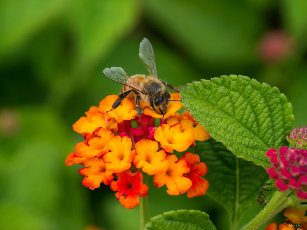 The Worlds Best Photos Of 45mm And Live Flickr Hive Mind Panasonic Leica Dg Macro Elmarit F 28 Asph Macroelmarit F28 Lantana Bee Phet Tags Gx7