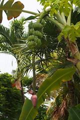 törpebanán / banana (debreczeniemoke) Tags: usa unitedstates amerikaiegyesültállamok florida keywest straitsofflorida floridastraits floridastrait floridatengerszoros növény plant trópusinövény tropicalplant törpebanán banana evergreenperennial musaacuminata banánfélék musaceae olympusem5