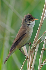 reed warbler (Explore) (DODO 1959) Tags: wildlife england nature avian birds migrant reedwarbler olympus 300mmf4 43 perch rspbhamwall somerset animal outdoor fauna