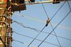 Love and fight on a wire 1 (Aztlek) Tags: puertocarreño ríoorinoco orinoco fotoexpedición fotoexpediciónorinoco vichada colombia photoexpedition orinocophotoexpedition trekking hiking senderismo caminata viajaryvivir afsdxnikkor18200mmf3556ged nikkor 18200mmf3556 f3556 f13556 ufraw ilovenature nikond7000 nikon d7000 nikongpsunit gpsunitgp1 gpsunit photography fotografía