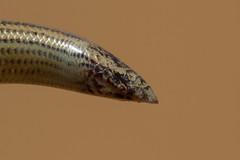 FitzSimon's Legless Skink (Typhlosaurus gariepensis) (Mr.Green038) Tags: winner fitzsimons legless skink typhlosaurus gariepensis snake lizard burrowing sand desert namib namibia namibie adaptation canon 7d