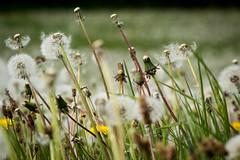 Flower Power : que des pissenlits (ClarkHodissay) Tags: pissenlits dandelions flowerpower flower