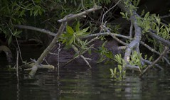 castor fiber (gerardkanters.nl) Tags: beaver bever castorfiber gerardkantersworkshop biesbosch