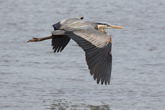 Great Blue Heron at Bombay Hook on 4-23-2017-23 (Scott Alan McClurg) Tags: aherodias animalia ardea ardeidae aves bombayhook bombayhookfederalwildlifepreserve chordata pelecaniformes animal bird flap flapping flight fly flying land landing life march nature naturephotography outdoors photography portrait saltwater spring wetlands wild wildlife