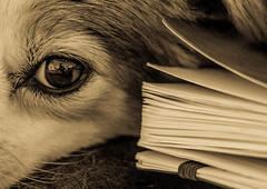 Open to the next chapter (risaclics) Tags: 50mm18 7dwmacro animals april2017 dogs florida nikond610 risa monochrome pets depapel looking close friday ofpaper