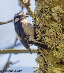 Downy Woodpecker (orencobirder) Tags: birds largebirds flickrexport woodpeckers speciesid