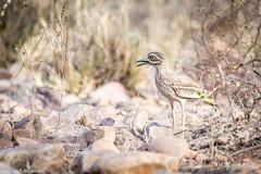 Indian thick-knee (Nedko Nedkov) Tags: indianthickknee wildlife bird birdphotography ranthambore np india rajasthan