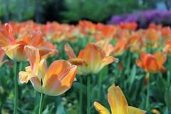 Sherwood Gardens ~ HBW! (karma (Karen)) Tags: baltimore maryland sherwoodgardens guilford flowers tulips dof bokeh spring brightcolors hbw topf25 cmwd