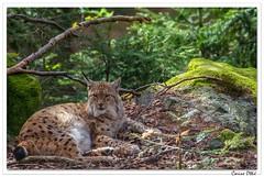 Le Lynx, une fois encore ! (C. OTTIE et J-Y KERMORVANT) Tags: nature animaux mammifères lynx parcanimalier bavière allemagne bayerischerwald