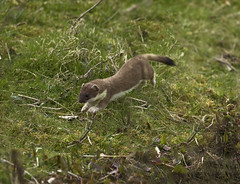 Stote - Gone in 30 seconds! (Ann and Chris) Tags: animal amazing awesome canon cute gorgeous image uk nature stunning outdoors running stote mammal