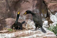 Cormorans huppés (Oric1) Tags: 22 canon cormoran côtesdarmor france armorique bird breizh bretagne brittany eos gr34 huppé nest nid oiseau oric1 jeanlucmolle cap frehel labous ornithologie ornithology watching