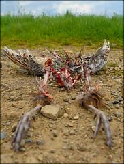 The Bones of You (Vide Cor Meum Images) Tags: mac010665yahoocouk markcoleman markandrewcoleman videcormeumimages vide cor meum nikon d750 bird death road kill prostrate iconography bones skeleton weird dark art lunch decay