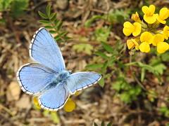 Polyommatus icarius (Tomasi Mirko) Tags: butterflies farfalla polyommatusicarius allnaturesparadise