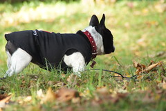 DSC03472 (Anastasia Neto) Tags: cutepuppies dog dogs dogphotography dogmodel cutepuppy dogphotographer petmodel puppies petphotography pets puppy pet petphotographer frenchie frenchies frenchbulldog frenchbulldogs funnydog funnydogs