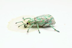 Compsus sp. (Entiminae; Eustylini) (Scrubmuncher) Tags: compsus entiminae eustylini beetle weevil broadnosed