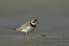 Pilgrimage to Tofino-Walk the line (Chantal Jacques Photography) Tags: semipalmatedplover walktheline wildandfree bokeh depthoffield pilgrimagetotofino