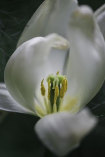 Lily Flowering Tulip