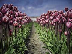 P4230118 (Finalfoto.nl) Tags: tulpen bollen tulps kleuren tulp tulips rood geel groen bloemen bloem